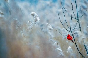 Red cardinal sitting on a branch with a snowy background