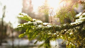 pine tree branch with sun shining on it and snow flakes on top