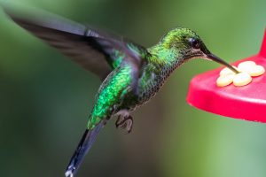 hummingbird drinking from red feeder